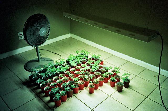 inhouse_growing_marijauan